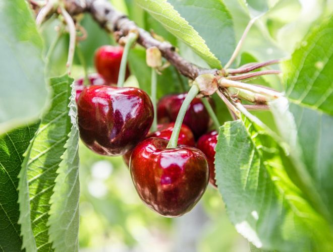 Drying Cherries at Home